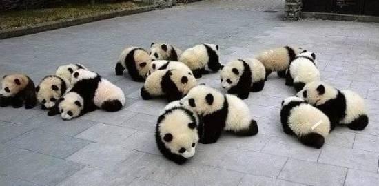 Panda Cubs Party