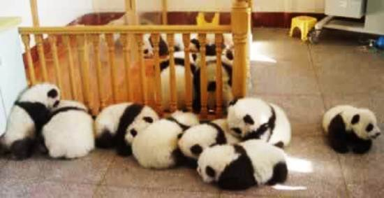 Baby Pandas Playing Picture