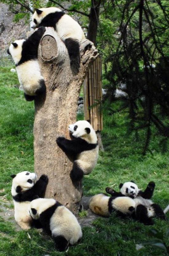 Baby Pandas Images