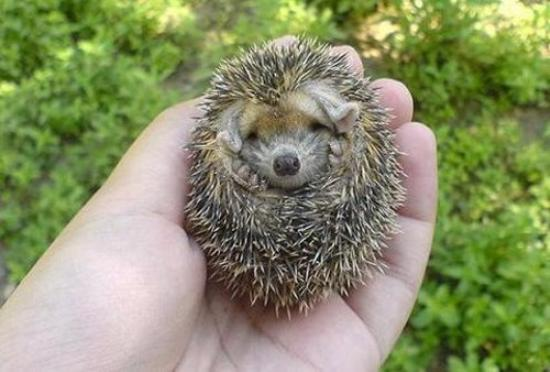 A Very Cute Baby Hedgehog