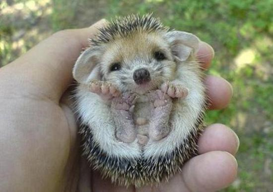 Baby Hedgehog Photo