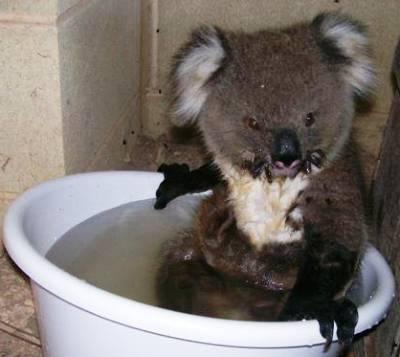 cute-koala