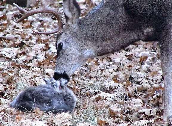 deer-licks-cat