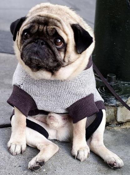 depressed-pug