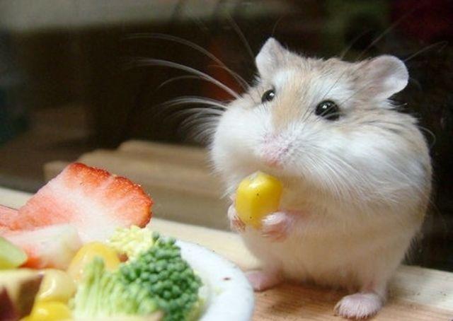 Baby Hamster Eats Corn