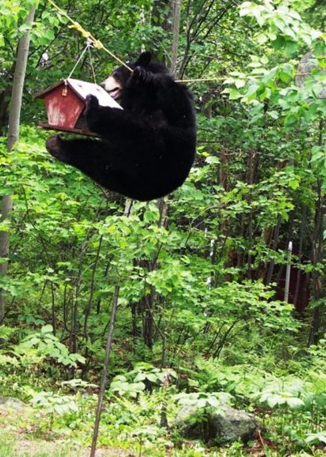 bear-with-bird-feeder4