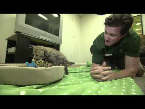 Video thumbnail for youtube video Busch Gardens Hand Raises A Baby Cheetah