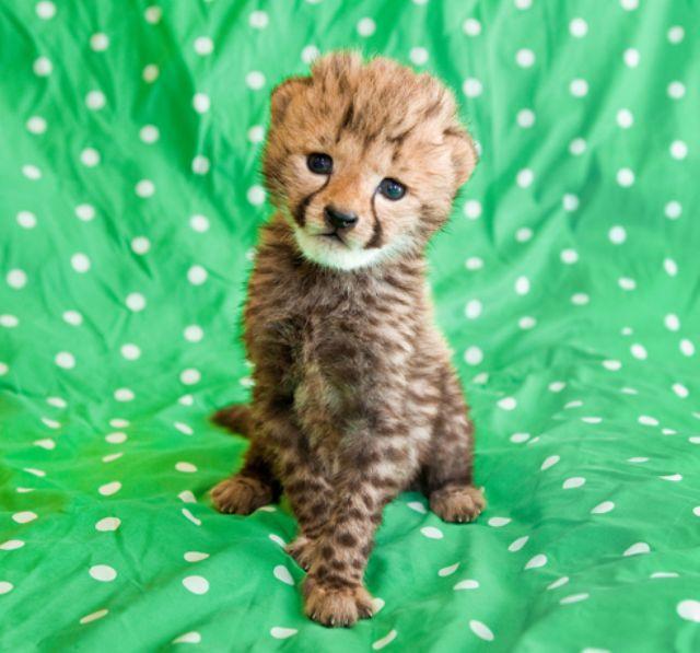Baby Cheetah Photograph