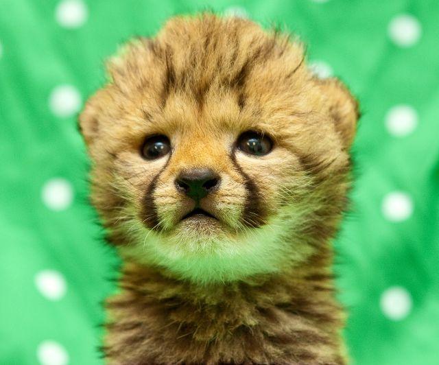 cheetah-baby-2