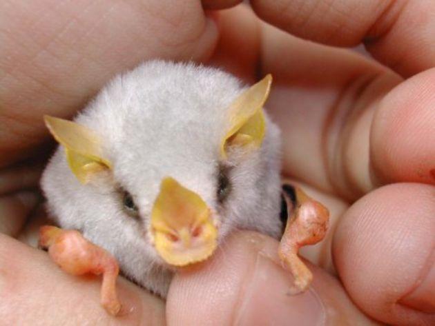Baby Honduran White Bat Close Up Photo