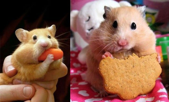 Two Hamsters Eating Food