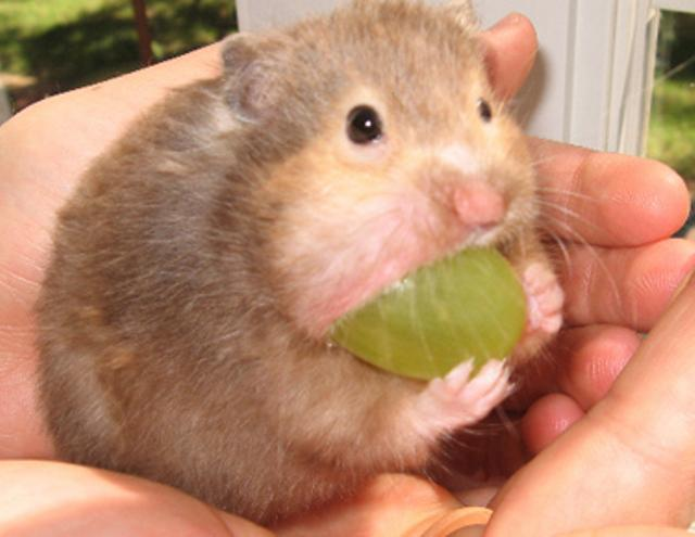 Cute Hamster Eats A Grape