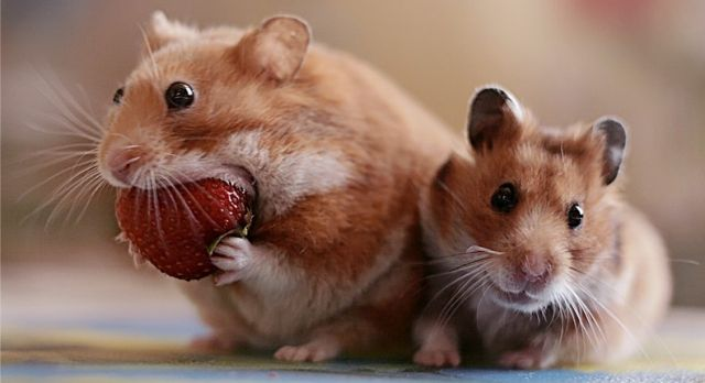 Hamster with Strawberry