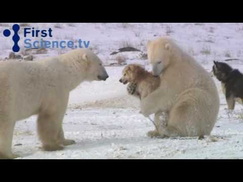 Video thumbnail for youtube video Polar Bears and Dogs: BFFs