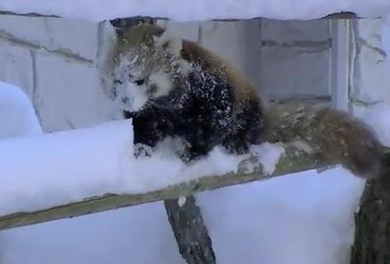red-pandas-frolic