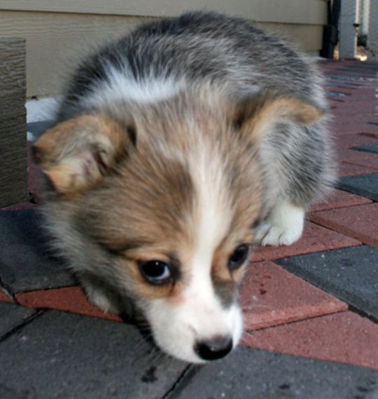 Cute Welsh Corgi Puppy Photograph