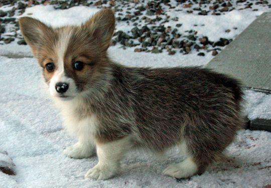 welsh-corgi-puppy-3