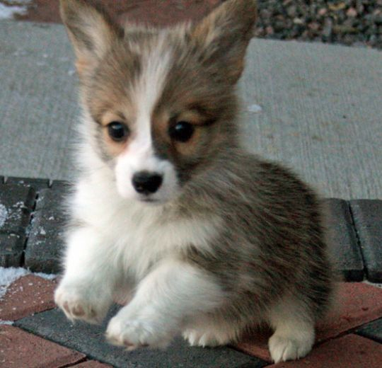 Welsh Corgi Puppy Pictures