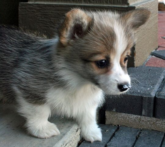 Corgi Puppy Picture