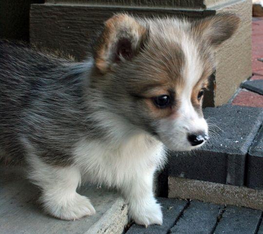 welsh-corgi-puppy-5