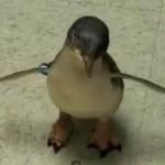 tickling-penguin