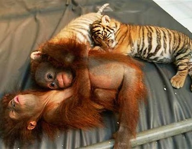 Orangutan and Tigers Sleep