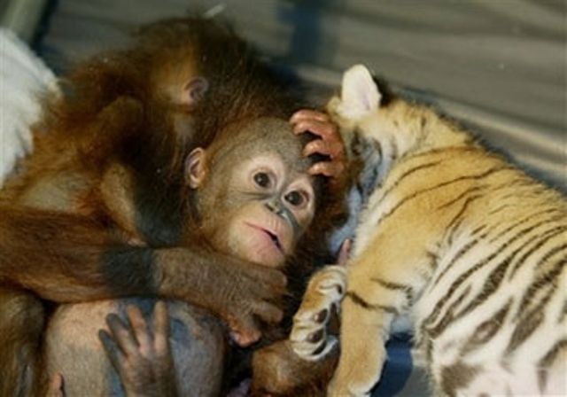 Baby Orangutan and Tiger Cubs Sleep Picture