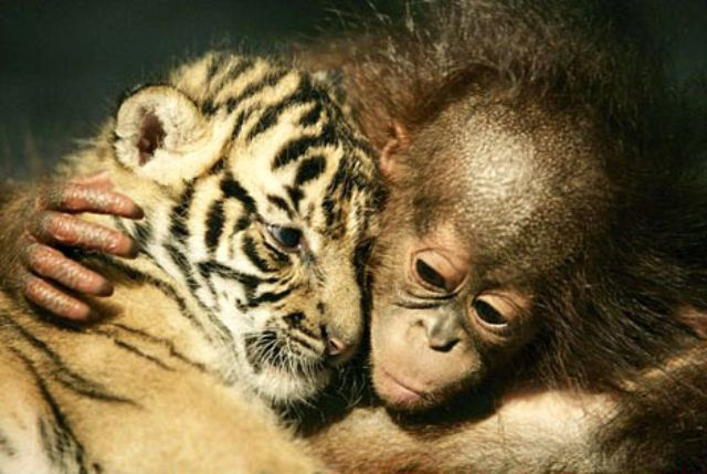 Tiger Cub and Orangutan Cuddle