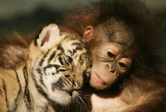 Baby Tiger and Orangutan Snuggle