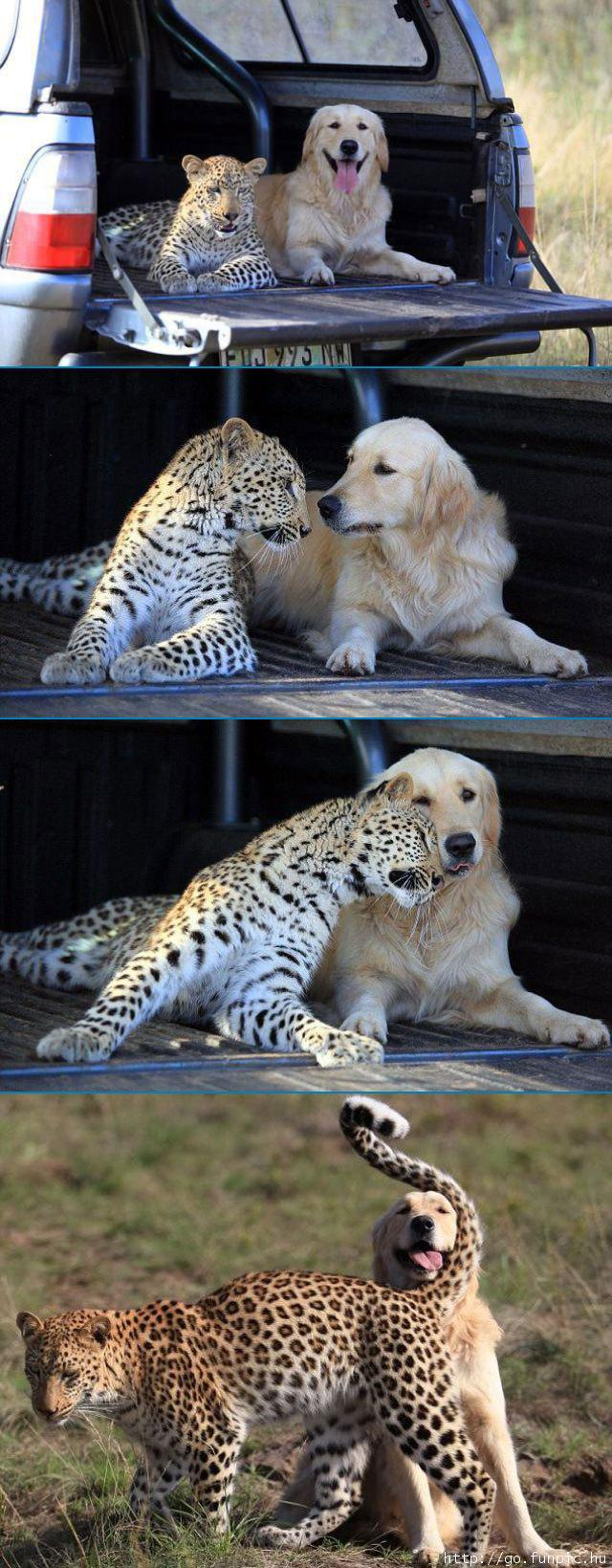 Best Friends Cheetah and Labrador Dog Pictures