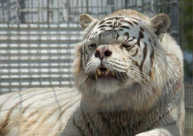 Tiger With Down Syndrome Kenny Photo