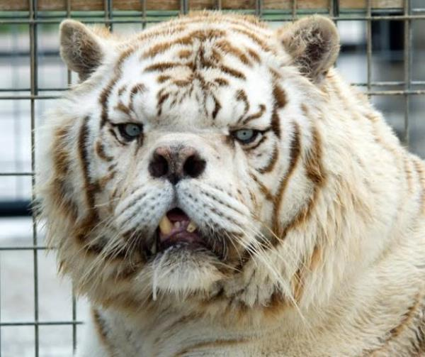 Inbred White Tiger Kenny