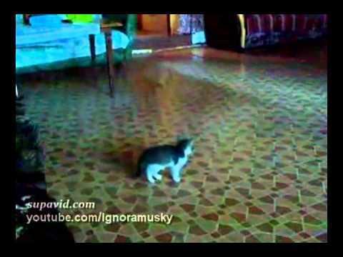 Video thumbnail for youtube video Kitten Versus Tennis Ball