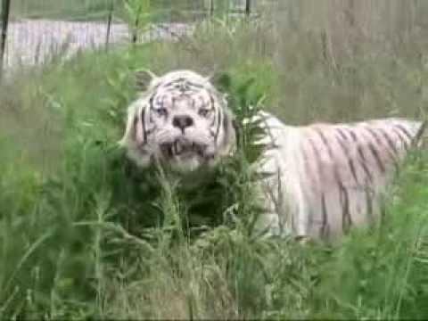 Kenny The Inbred Tiger