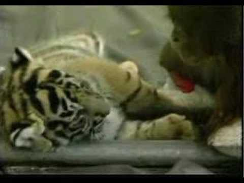Video thumbnail for youtube video Orangutan Babies And Tiger Cubs Become Play Pals