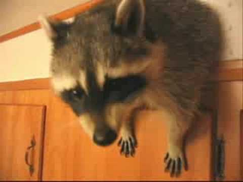 Video thumbnail for youtube video Pet Raccoon Moonlights As Interior Decorator