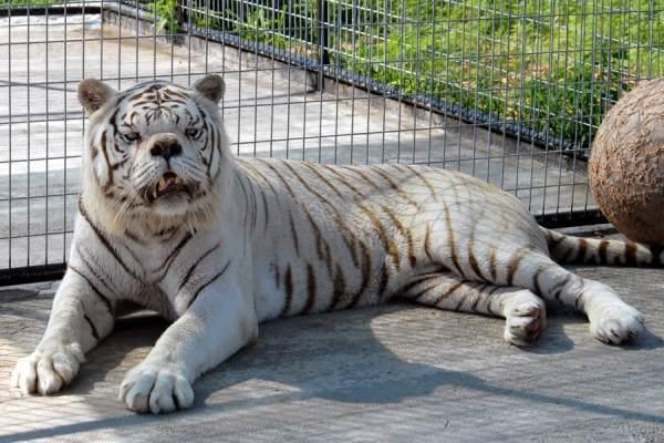 Retarded White Tiger