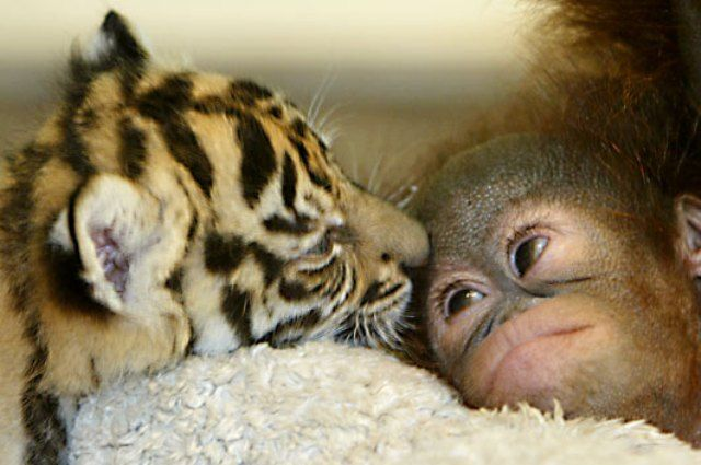 Tiger and Orangutan Babies Photograph