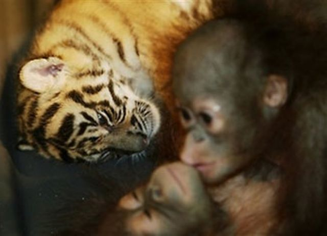 Tiger Cub and Orangutan Baby Picture