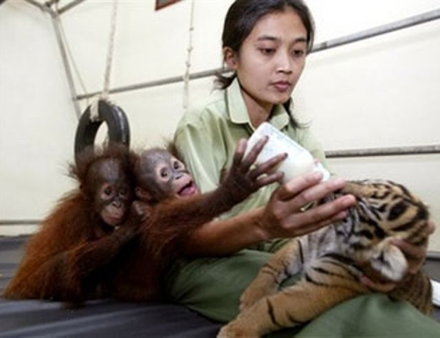 Orangutan Feeds A Tiger Cub