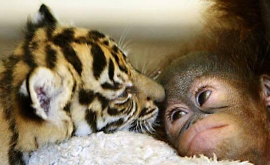 tiger-orangutan-babies