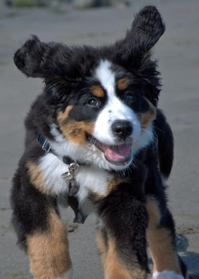 Aww Bernese Mountain Dog