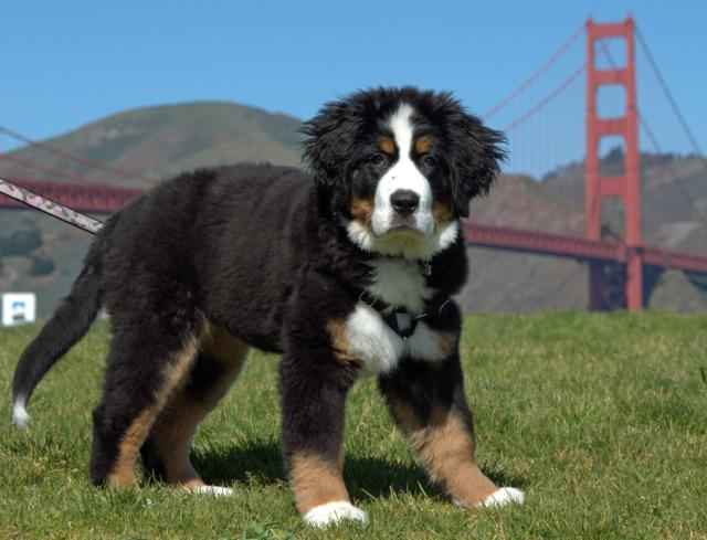 Adorable Bernese Mountain Dog Puppy Pics