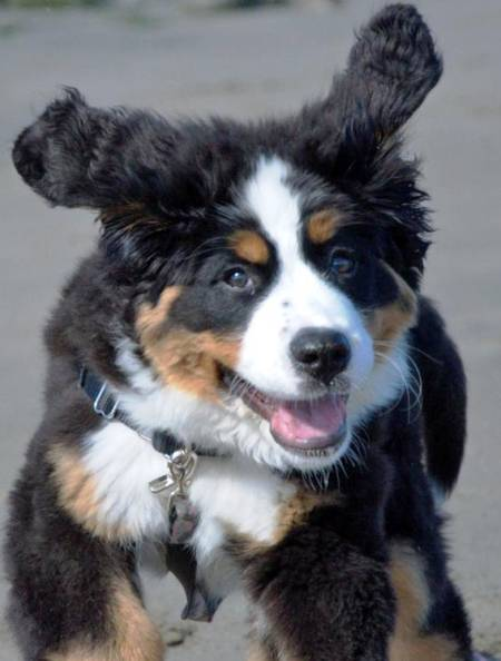 bernese-mountain-dog-puppy