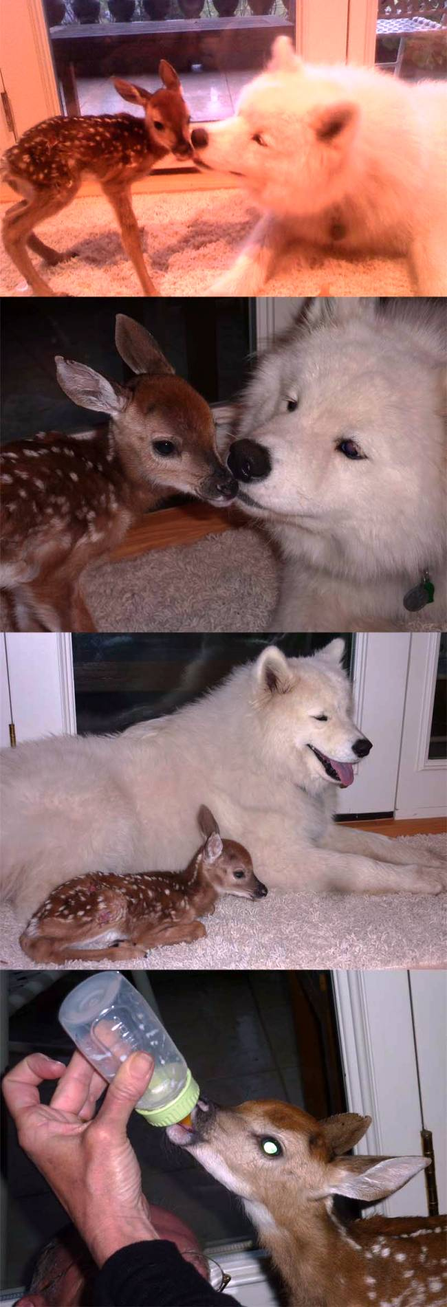 Dog and Fawn Become Friends