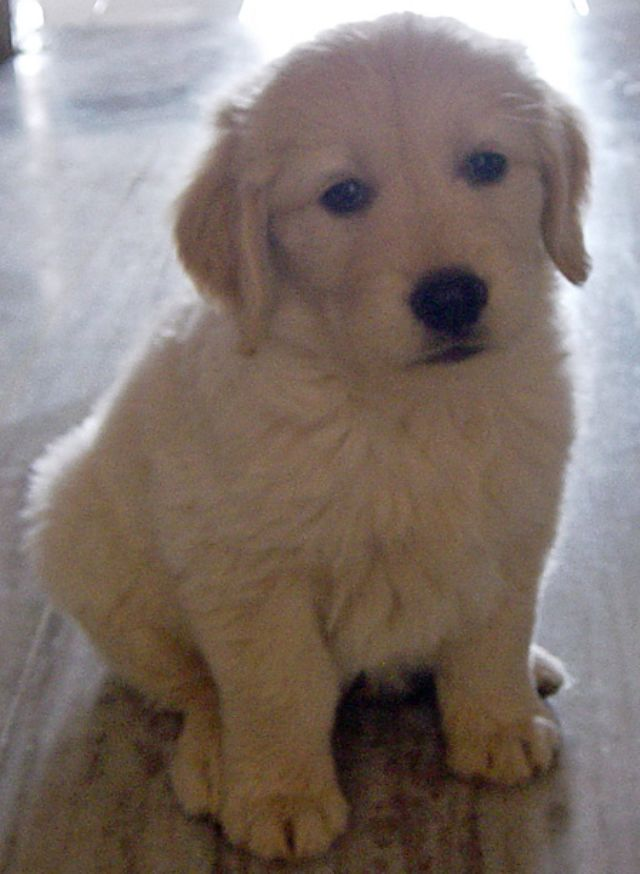 Adorable Golden Lab Puppy