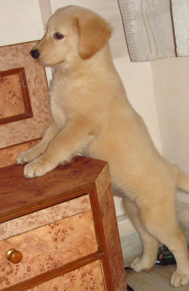 Adorable Golden Retriever Puppy Picture