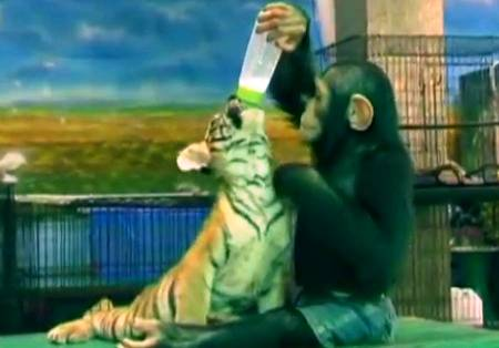 chimpanzee-feeds-baby-tiger