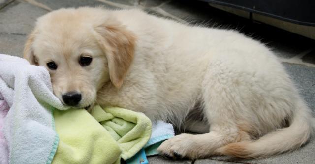 golden-retriever-puppy-3