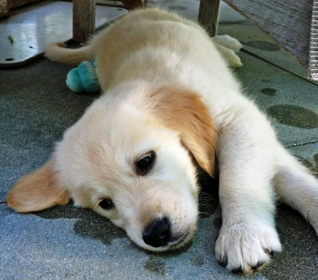 golden-retriever-puppy-4